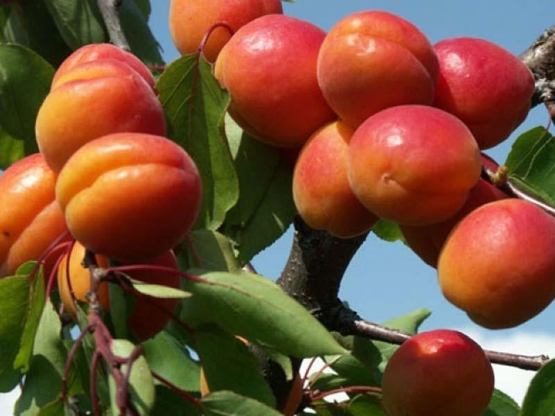 Jabuka - Jonagold - Prodaja i proizvodnja sadnica