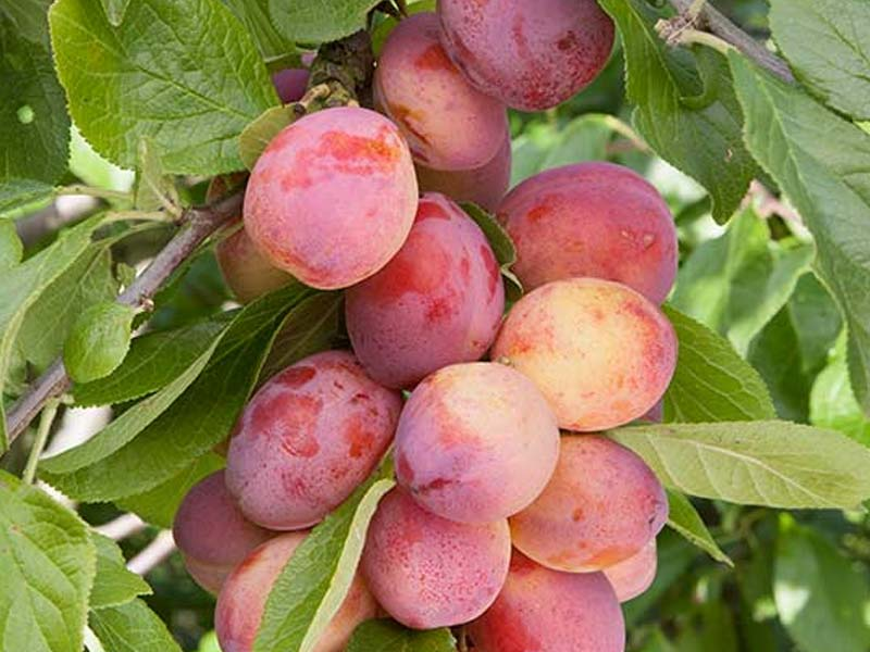 Sadnice jabuka | Rasadnik voca Agrokalem-Plod